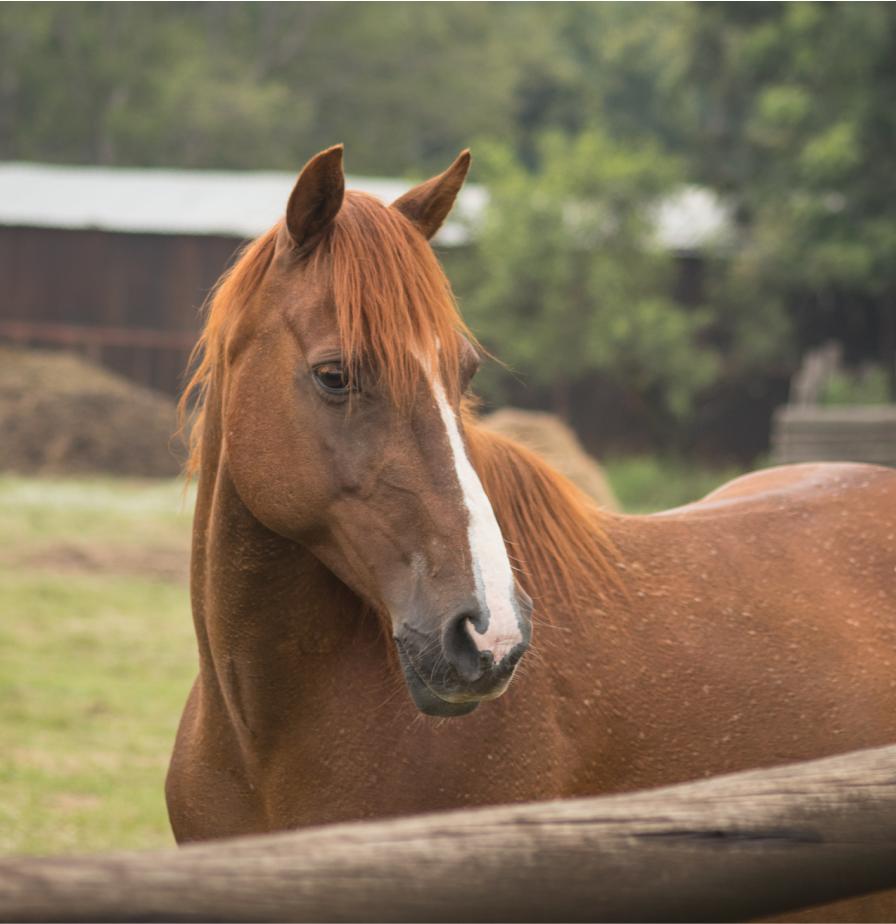 Sheba - Pony