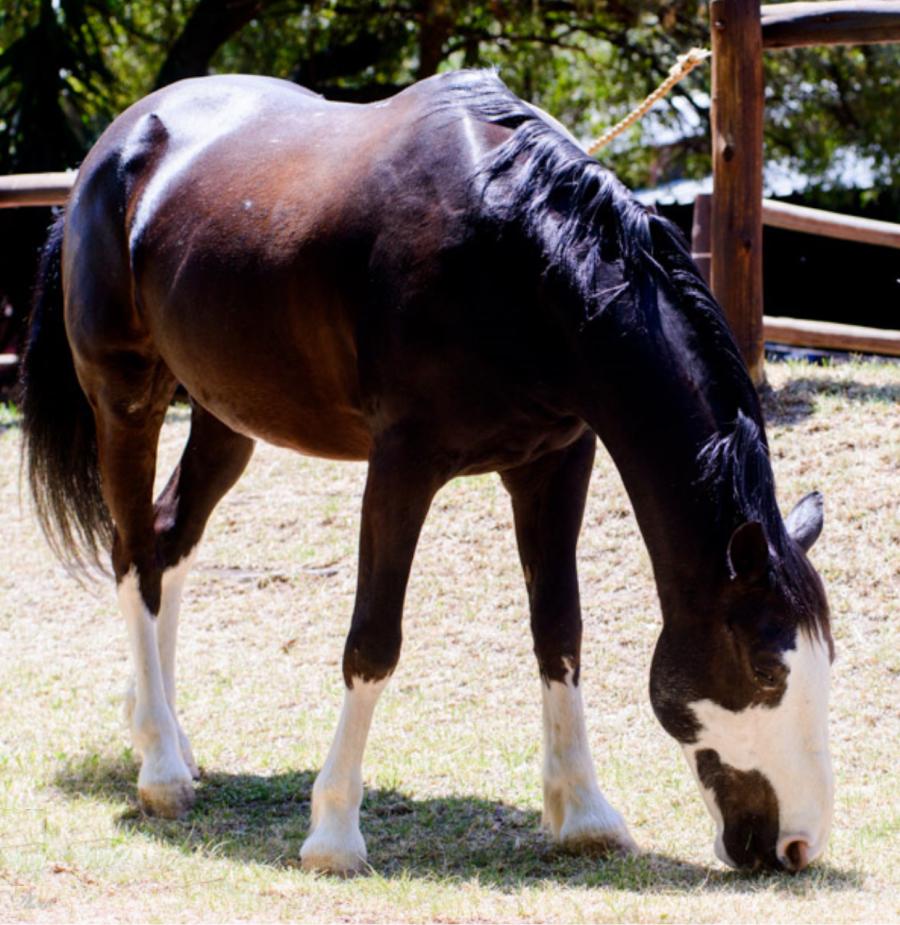 Zorro - Pony